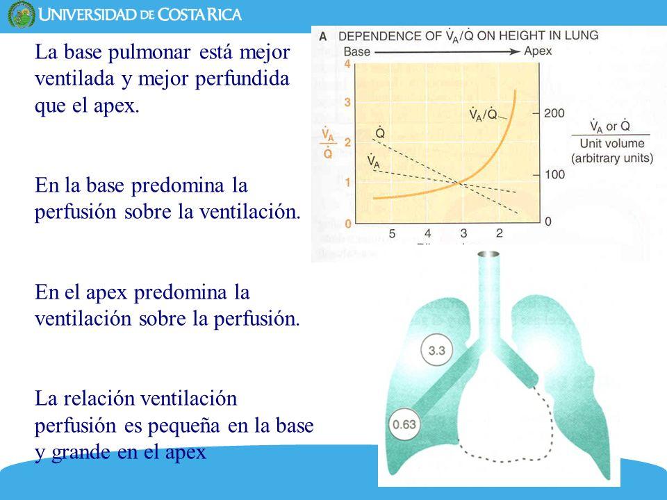 6 La base pulmonar está mejor ventilada y mejor perfundida que el apex. En la base predomina la perfusión sobre la ventilación. En el apex predomina l
