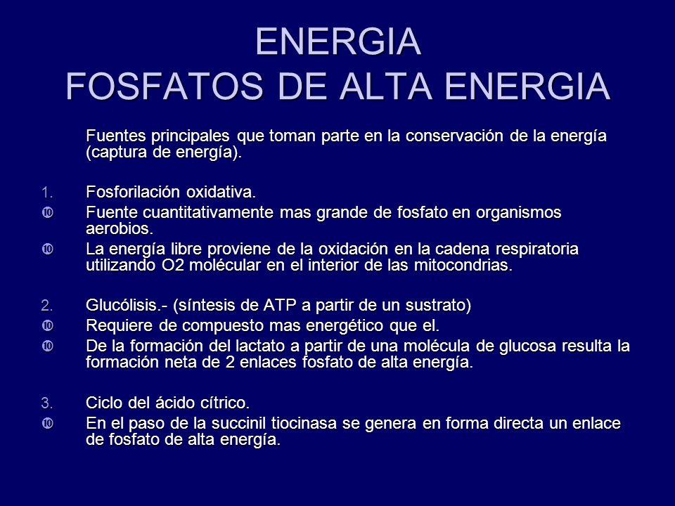ENERGIA FOSFATOS DE ALTA ENERGIA Fuentes principales que toman parte en la conservación de la energía (captura de energía). 1. Fosforilación oxidativa
