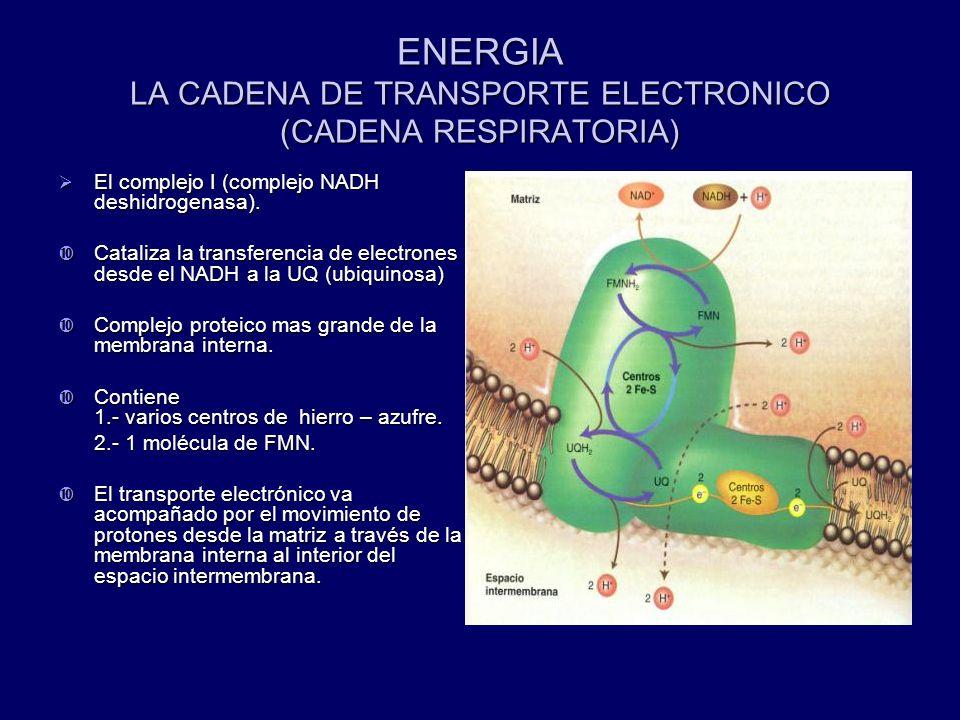 ENERGIA LA CADENA DE TRANSPORTE ELECTRONICO (CADENA RESPIRATORIA) El complejo I (complejo NADH deshidrogenasa). El complejo I (complejo NADH deshidrog