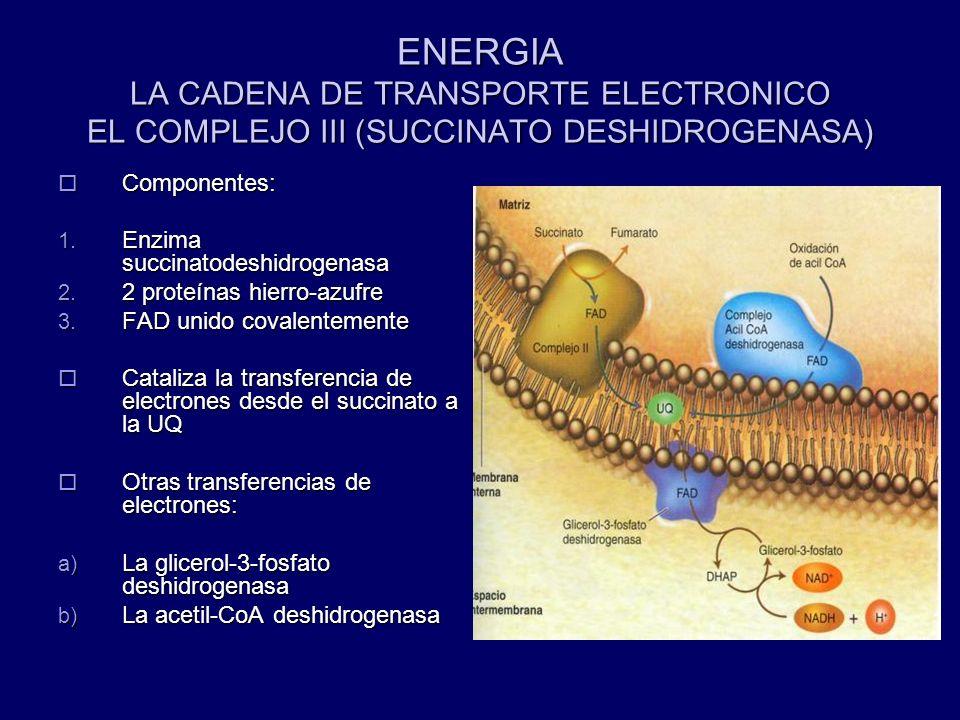 ENERGIA LA CADENA DE TRANSPORTE ELECTRONICO EL COMPLEJO III (SUCCINATO DESHIDROGENASA) Componentes: Componentes: 1. Enzima succinatodeshidrogenasa 2.