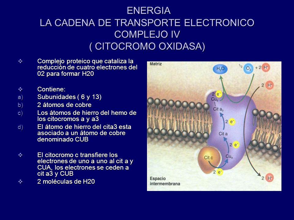 ENERGIA LA CADENA DE TRANSPORTE ELECTRONICO COMPLEJO IV ( CITOCROMO OXIDASA) ENERGIA LA CADENA DE TRANSPORTE ELECTRONICO COMPLEJO IV ( CITOCROMO OXIDA