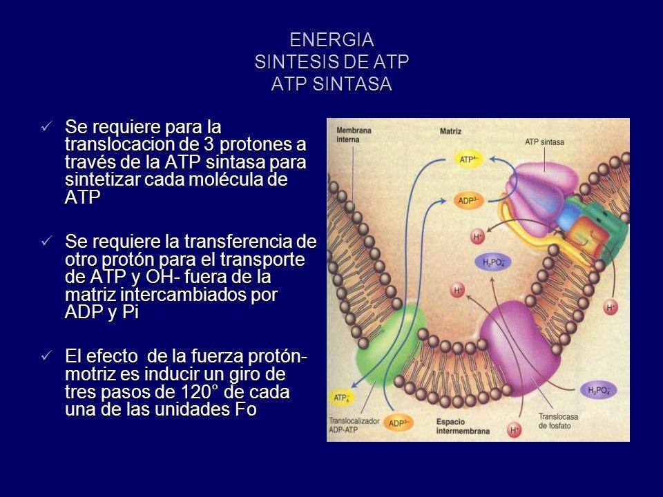 ENERGIA SINTESIS DE ATP ATP SINTASA Se requiere para la translocacion de 3 protones a través de la ATP sintasa para sintetizar cada molécula de ATP Se