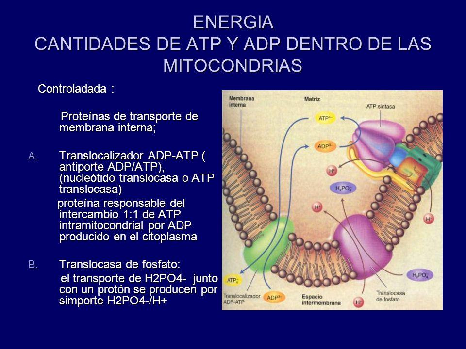 ENERGIA CANTIDADES DE ATP Y ADP DENTRO DE LAS MITOCONDRIAS Controladada : Controladada : Proteínas de transporte de membrana interna; Proteínas de tra