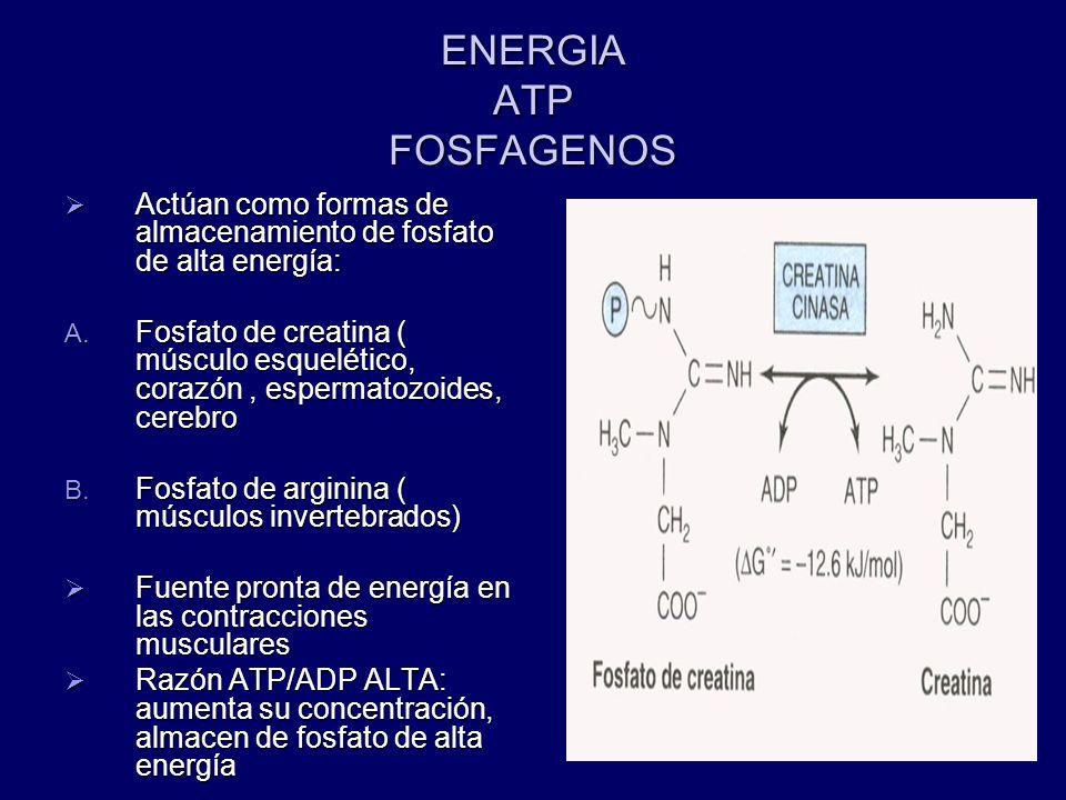 ENERGIA ATP FOSFAGENOS Actúan como formas de almacenamiento de fosfato de alta energía: Actúan como formas de almacenamiento de fosfato de alta energí