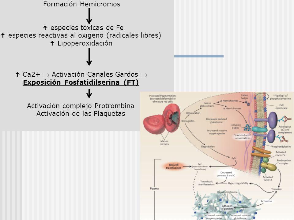 Formación Hemicromos especies tóxicas de Fe especies reactivas al oxigeno (radicales libres) Lipoperoxidación Ca2+ Activación Canales Gardos Exposició