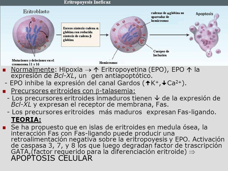 Apoptosis de precursores Normalmente: Hipoxia Eritropoyetina (EPO), EPO la expresión de Bcl-XL, un gen antiapoptótico. - EPO inhibe la expresión del c
