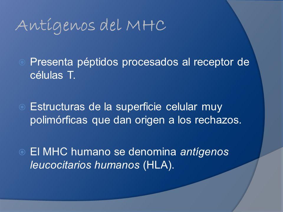 Antígenos del MHC Presenta péptidos procesados al receptor de células T. Estructuras de la superficie celular muy polimórficas que dan origen a los re