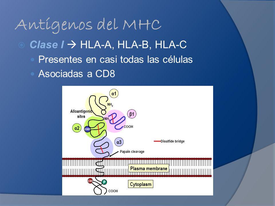 Antígenos del MHC Clase I HLA-A, HLA-B, HLA-C Presentes en casi todas las células Asociadas a CD8