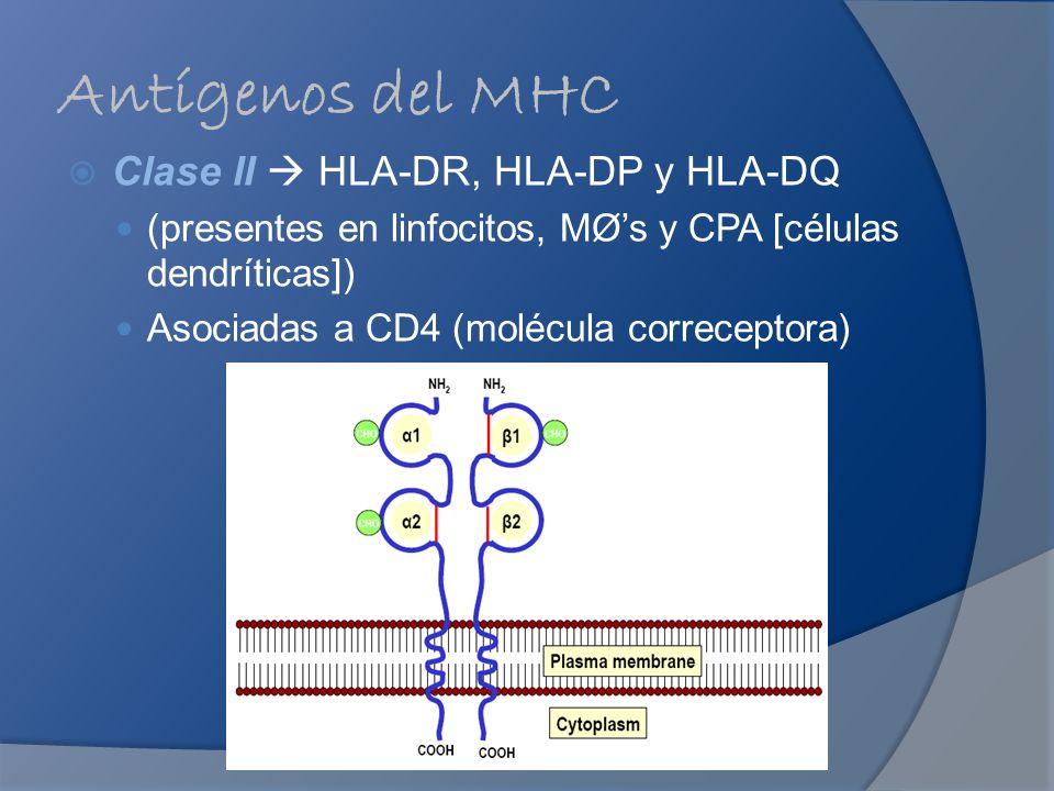 Antígenos del MHC Clase II HLA-DR, HLA-DP y HLA-DQ (presentes en linfocitos, MØs y CPA [células dendríticas]) Asociadas a CD4 (molécula correceptora)