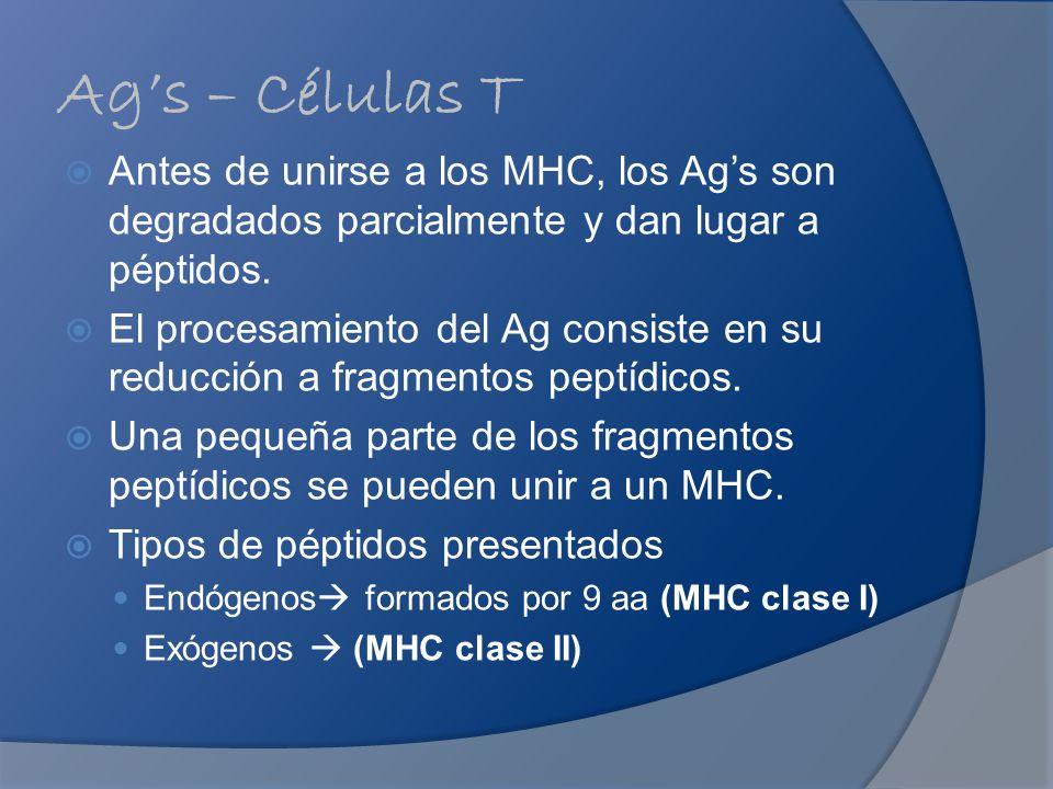 Ags – Células T Antes de unirse a los MHC, los Ags son degradados parcialmente y dan lugar a péptidos. El procesamiento del Ag consiste en su reducció