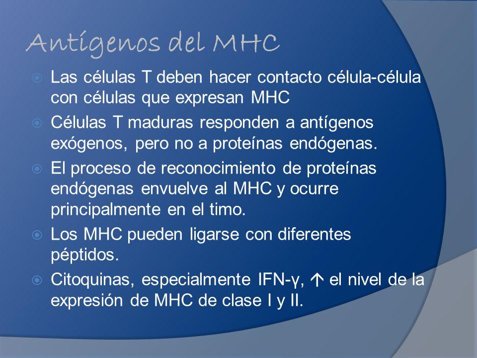 Antígenos del MHC Las células T deben hacer contacto célula-célula con células que expresan MHC Células T maduras responden a antígenos exógenos, pero