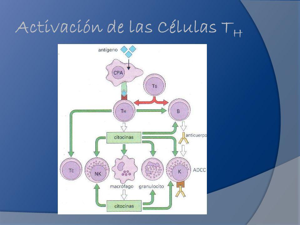 Activación de las Células T H