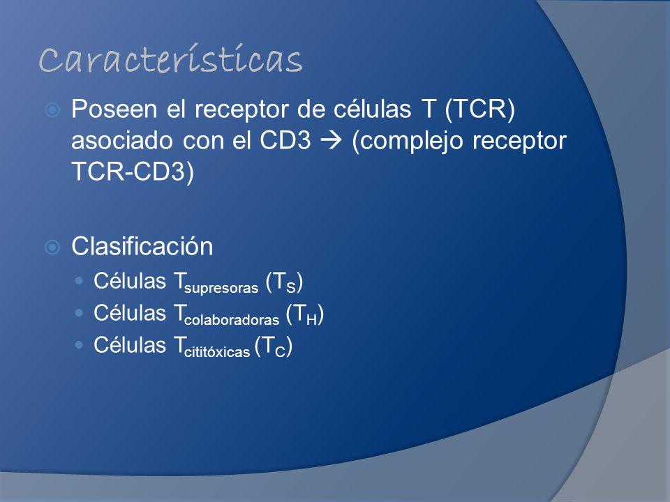 Características Poseen el receptor de células T (TCR) asociado con el CD3 (complejo receptor TCR-CD3) Clasificación Células T supresoras (T S ) Célula