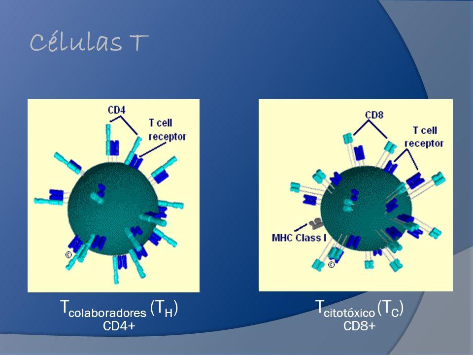 Receptores de las Células T Reconocimiento de los antígenos por las células T es esencial para la iniciación y regulación de una respuesta inmune.