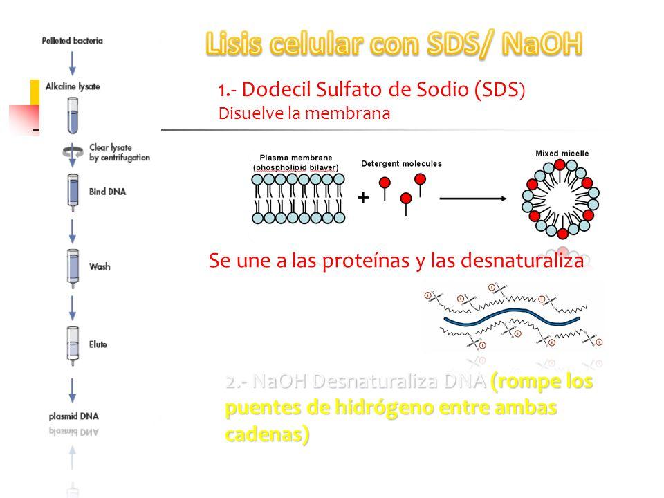 1.- Dodecil Sulfato de Sodio (SDS ) Disuelve la membrana Se une a las proteínas y las desnaturaliza 2.- NaOH Desnaturaliza DNA (rompe los puentes de h