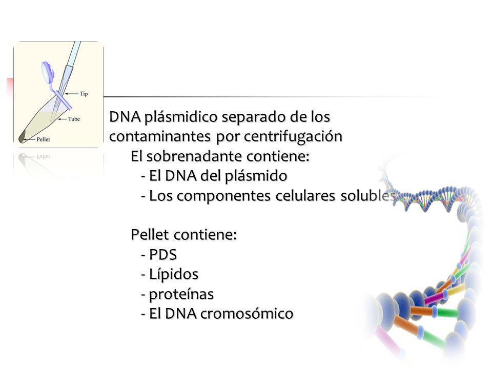 DNA plásmidico separado de los contaminantes por centrifugación El sobrenadante contiene: - El DNA del plásmido - Los componentes celulares solubles P