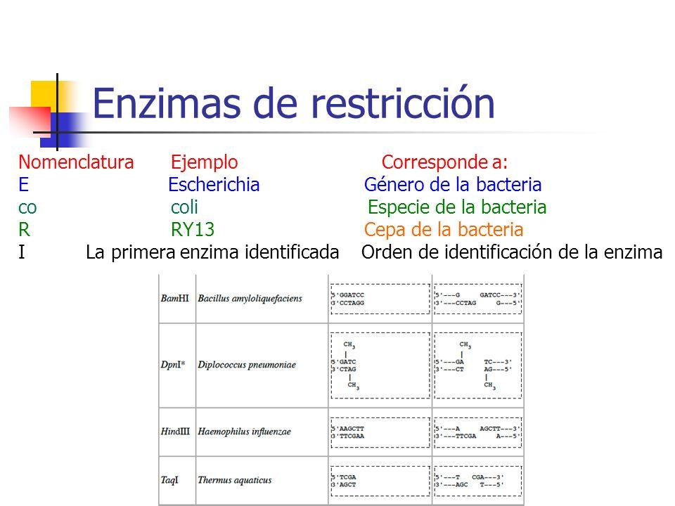 Enzimas de restricción Nomenclatura Ejemplo Corresponde a: E Escherichia Género de la bacteria co coli Especie de la bacteria R RY13 Cepa de la bacter