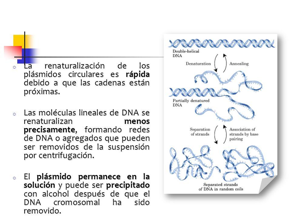 o La renaturalización de los plásmidos circulares es rápida debido a que las cadenas están próximas. o Las moléculas lineales de DNA se renaturalizan