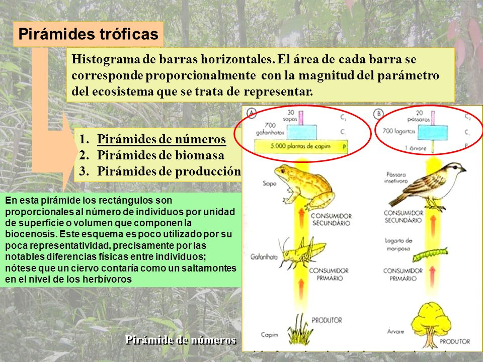 Pirámide de números Consumidores terciarios Consumidores secundarios Consumidores primarios (zooplancton) Productores (fitoplancton)