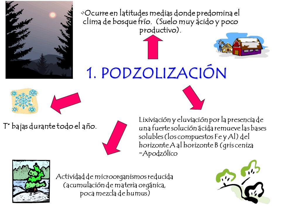 PODZOLIZACIÓN 1. PODZOLIZACIÓN Ocurre en latitudes medias donde predomina el clima de bosque frío. (Suelo muy ácido y poco productivo). T° bajas duran