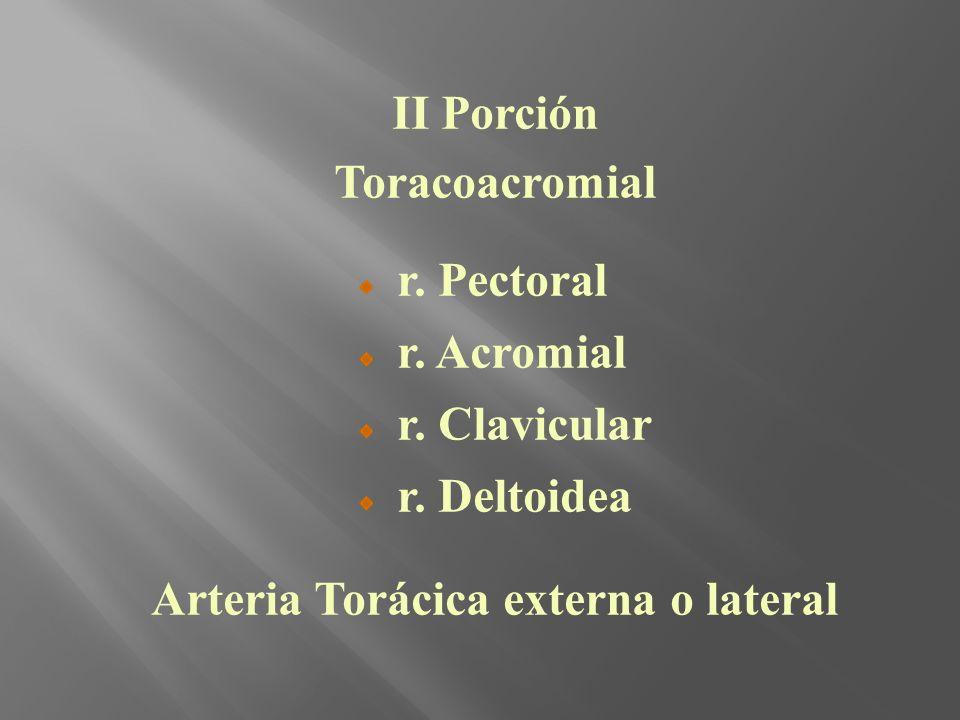 II Porción Toracoacromial r. Pectoral r. Acromial r. Clavicular r. Deltoidea Arteria Torácica externa o lateral