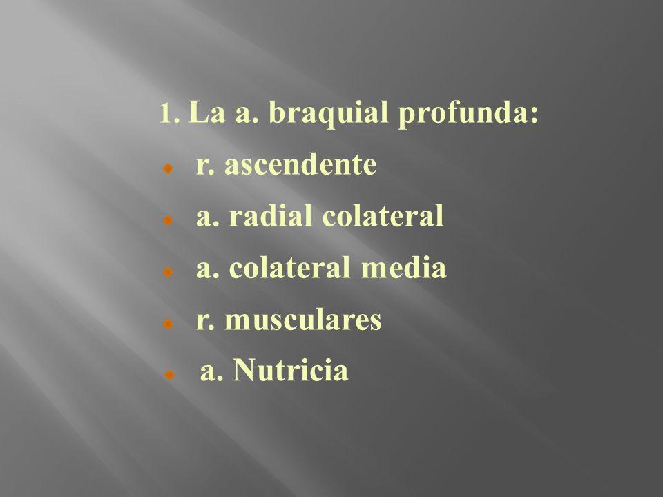 1. La a. braquial profunda: r. ascendente a. radial colateral a. colateral media r. musculares a. Nutricia