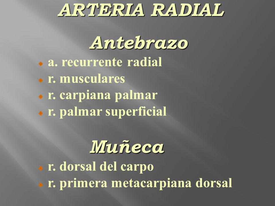Antebrazo a. recurrente radial r. musculares r. carpiana palmar r. palmar superficialMuñeca r. dorsal del carpo r. primera metacarpiana dorsal ARTERIA
