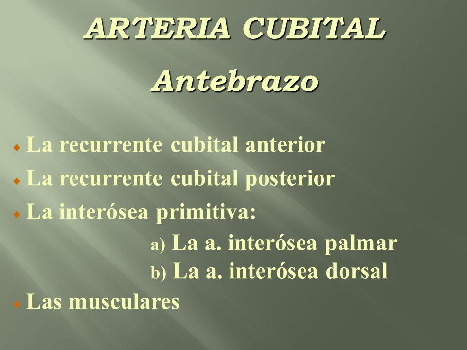 ARTERIA CUBITAL Antebrazo La recurrente cubital anterior La recurrente cubital posterior La interósea primitiva: a) La a. interósea palmar b) La a. in