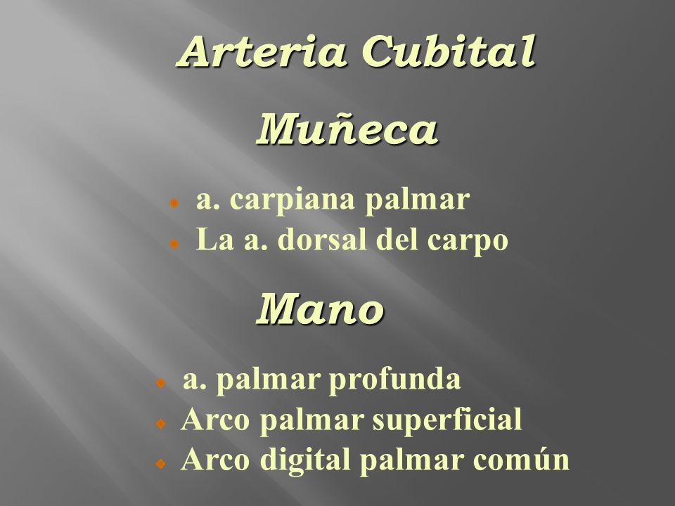Muñeca a. carpiana palmar La a. dorsal del carpoMano a. palmar profunda Arco palmar superficial Arco digital palmar común Arteria Cubital