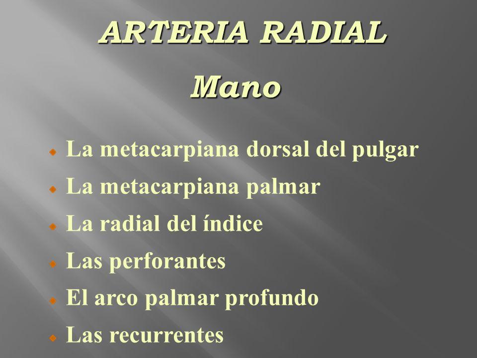Mano La metacarpiana dorsal del pulgar La metacarpiana palmar La radial del índice Las perforantes El arco palmar profundo Las recurrentes ARTERIA RAD