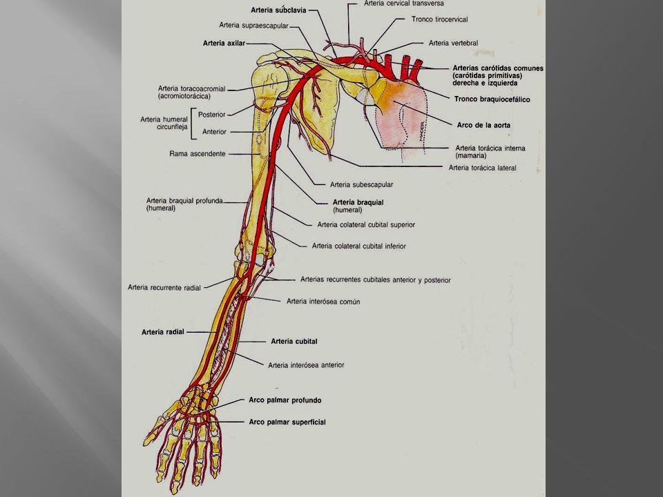 II Porción Toracoacromial r.Pectoral r. Acromial r.
