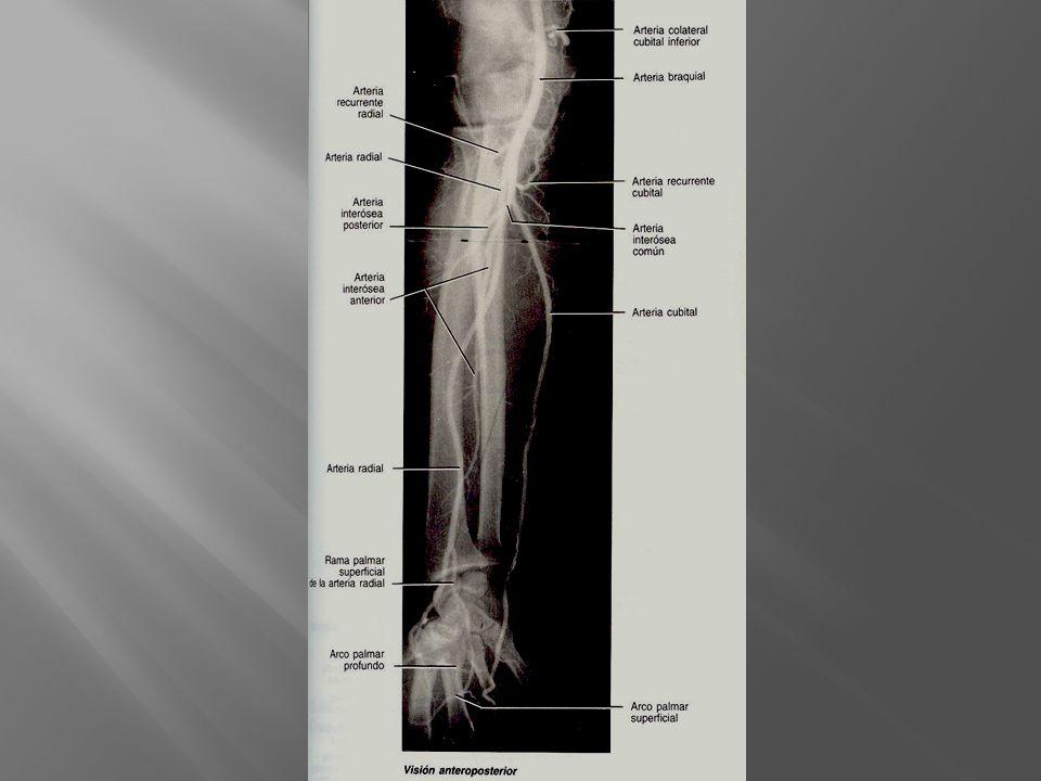 Antebrazo a.recurrente radial r. musculares r. carpiana palmar r.