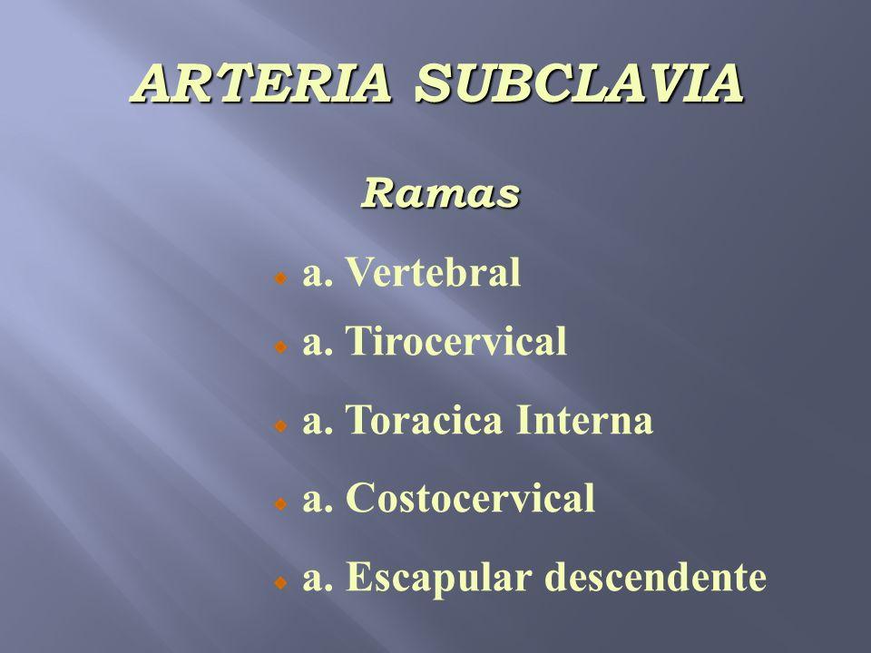 ARTERIA SUBCLAVIA Ramas a. Vertebral a. Tirocervical a. Toracica Interna a. Costocervical a. Escapular descendente