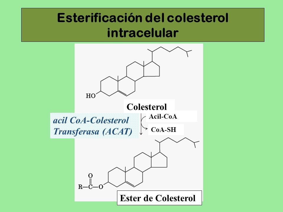 Esterificación del colesterol intracelular Colesterol acil CoA-Colesterol Transferasa (ACAT) Acil-CoA CoA-SH Ester de Colesterol