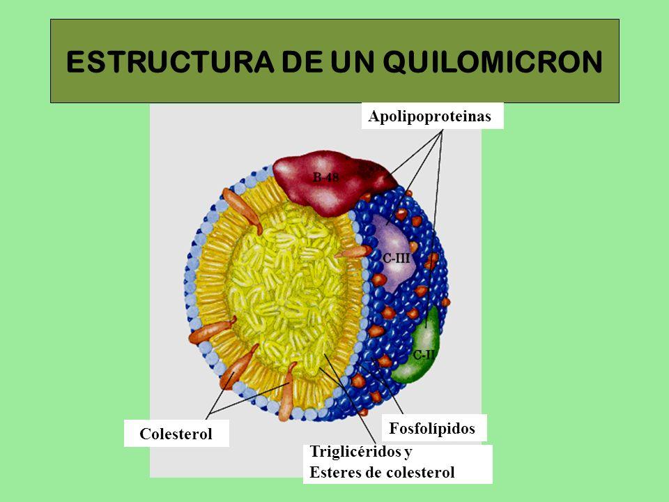 ESTRUCTURA DE UN QUILOMICRON Apolipoproteinas Fosfolípidos Triglicéridos y Esteres de colesterol Colesterol
