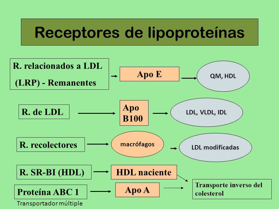 Receptores de lipoproteínas R. relacionados a LDL (LRP) - Remanentes R. de LDL R. recolectores Apo B100 LDL, VLDL, IDL Apo E QM, HDL LDL modificadas m