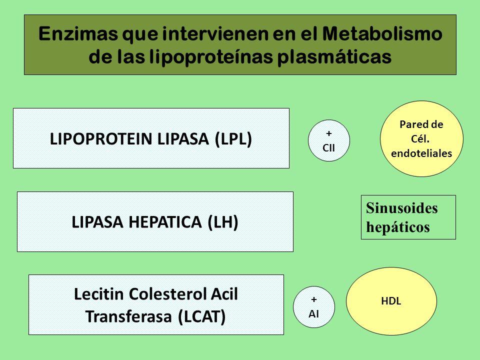 Enzimas que intervienen en el Metabolismo de las lipoproteínas plasmáticas LIPOPROTEIN LIPASA (LPL) Pared de Cél. endoteliales Lecitin Colesterol Acil