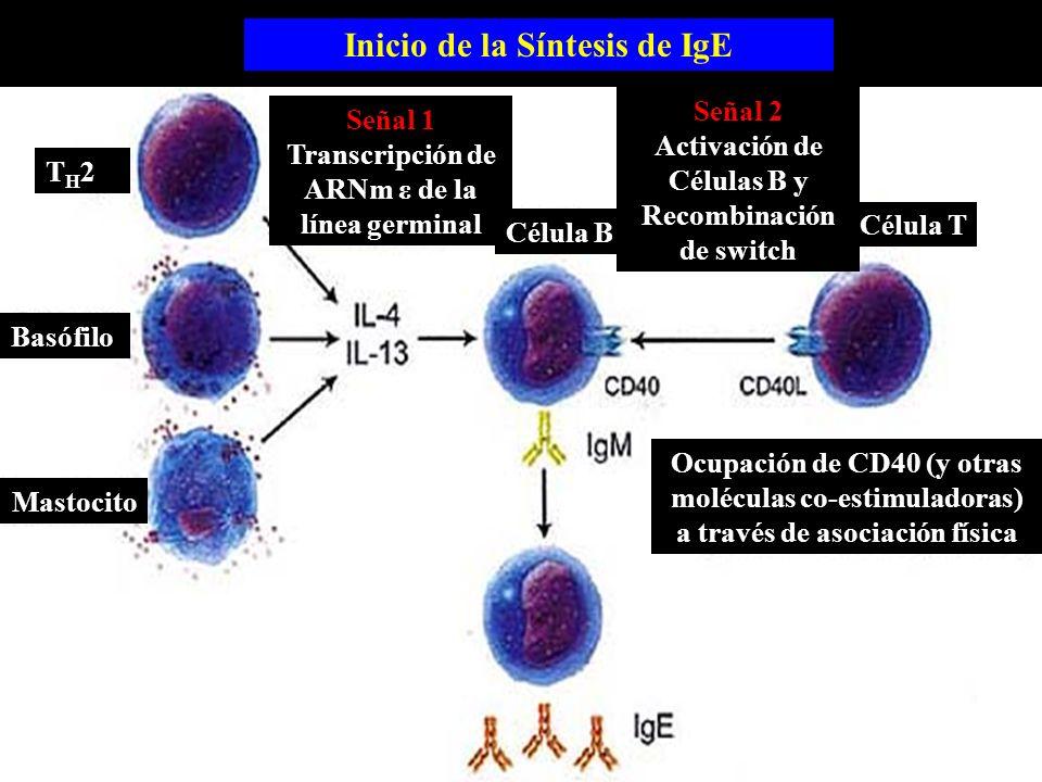Inicio de la Síntesis de IgE Basófilo Mastocito TH2TH2 Señal 1 Transcripción de ARNm ε de la línea germinal Célula B Señal 2 Activación de Células B y