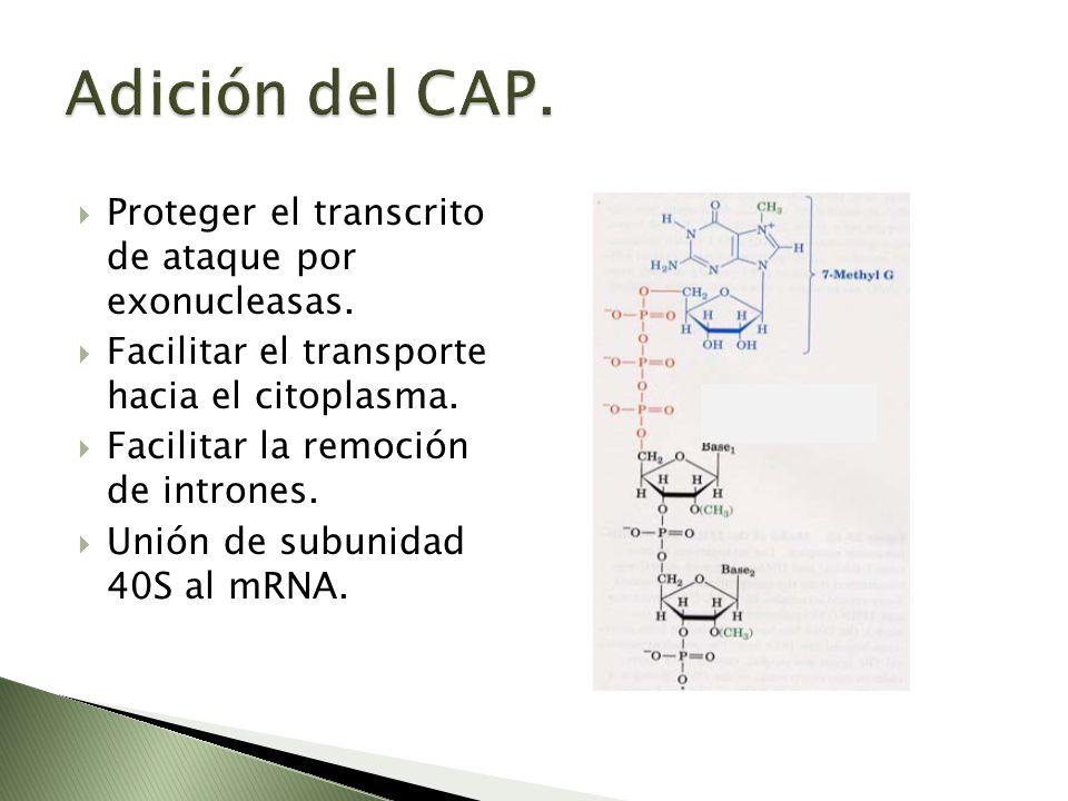 Proteger el transcrito de ataque por exonucleasas. Facilitar el transporte hacia el citoplasma. Facilitar la remoción de intrones. Unión de subunidad