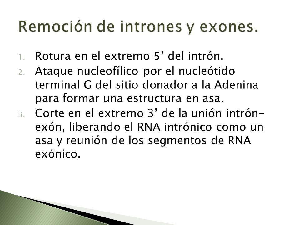 1. Rotura en el extremo 5 del intrón. 2. Ataque nucleofílico por el nucleótido terminal G del sitio donador a la Adenina para formar una estructura en
