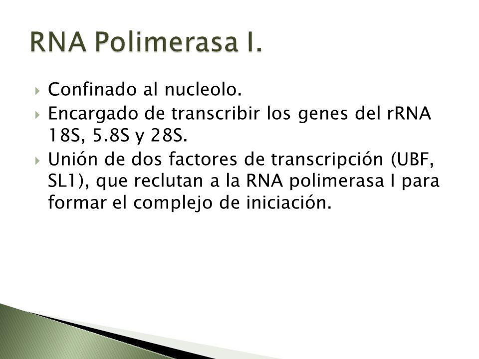 Confinado al nucleolo. Encargado de transcribir los genes del rRNA 18S, 5.8S y 28S. Unión de dos factores de transcripción (UBF, SL1), que reclutan a