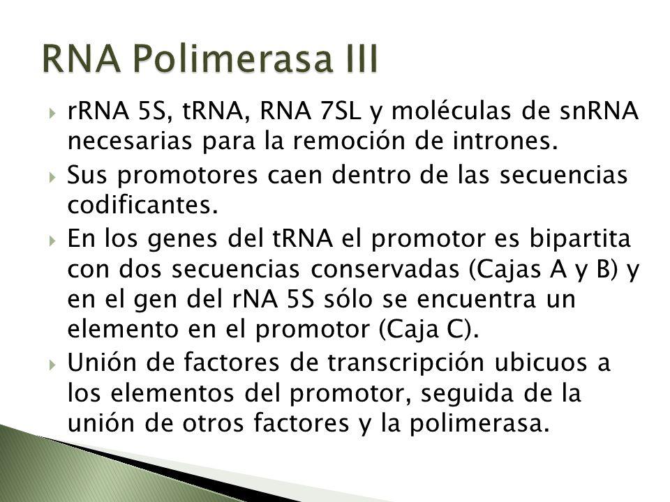rRNA 5S, tRNA, RNA 7SL y moléculas de snRNA necesarias para la remoción de intrones. Sus promotores caen dentro de las secuencias codificantes. En los