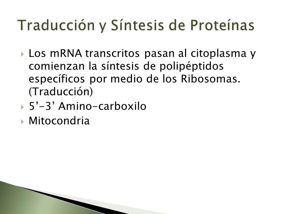 Los mRNA transcritos pasan al citoplasma y comienzan la síntesis de polipéptidos específicos por medio de los Ribosomas. (Traducción) 5-3 Amino-carbox