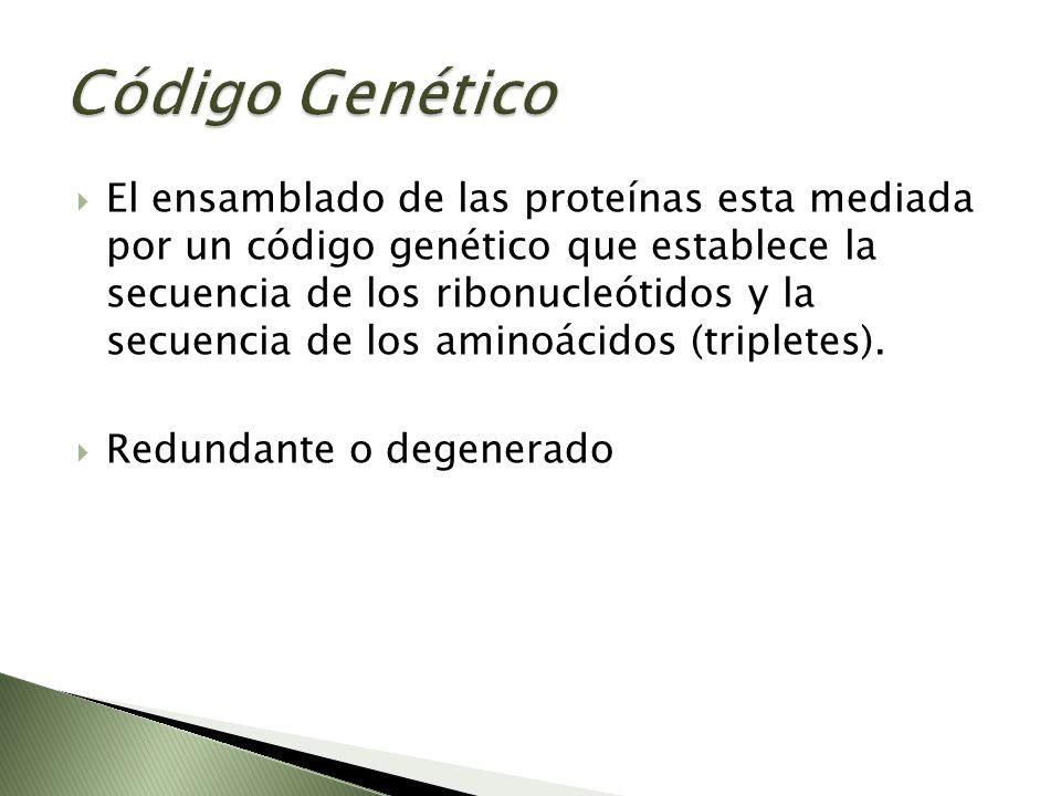 El ensamblado de las proteínas esta mediada por un código genético que establece la secuencia de los ribonucleótidos y la secuencia de los aminoácidos