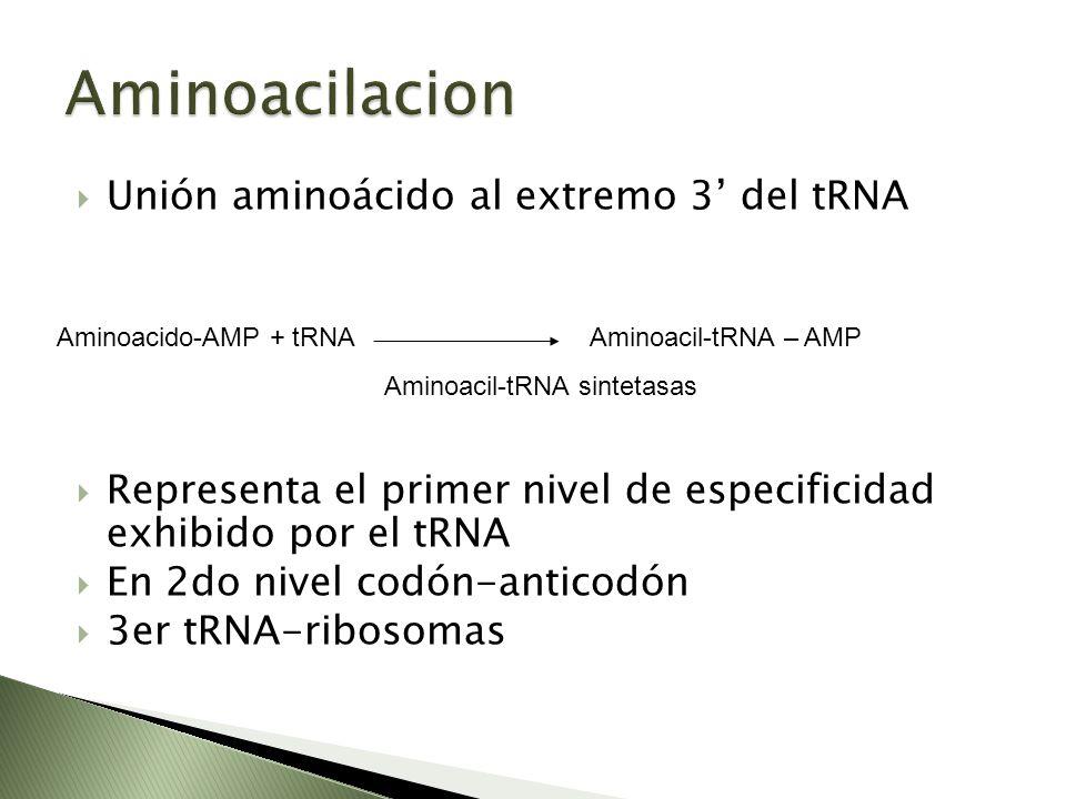 Unión aminoácido al extremo 3 del tRNA Representa el primer nivel de especificidad exhibido por el tRNA En 2do nivel codón-anticodón 3er tRNA-ribosoma
