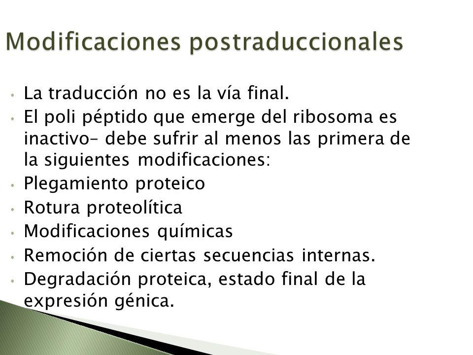 La traducción no es la vía final. El poli péptido que emerge del ribosoma es inactivo– debe sufrir al menos las primera de la siguientes modificacione