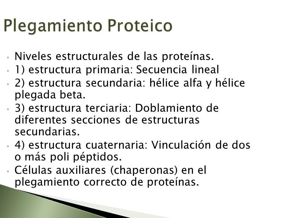 Plegamiento Proteico Niveles estructurales de las proteínas. 1) estructura primaria: Secuencia lineal 2) estructura secundaria: hélice alfa y hélice p