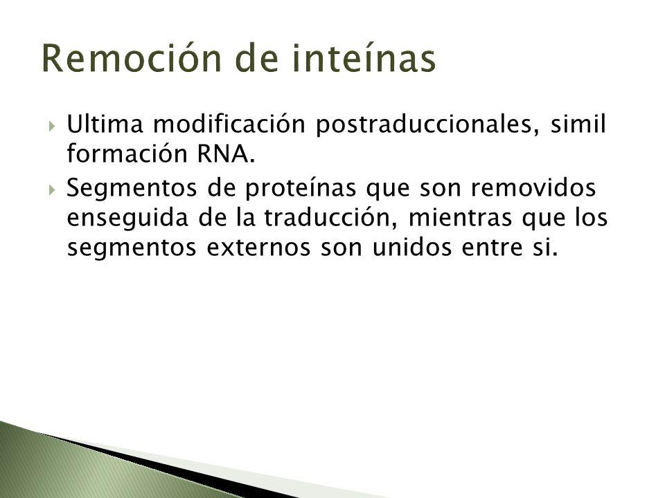 Remoción de inteínas Ultima modificación postraduccionales, simil formación RNA. Segmentos de proteínas que son removidos enseguida de la traducción,