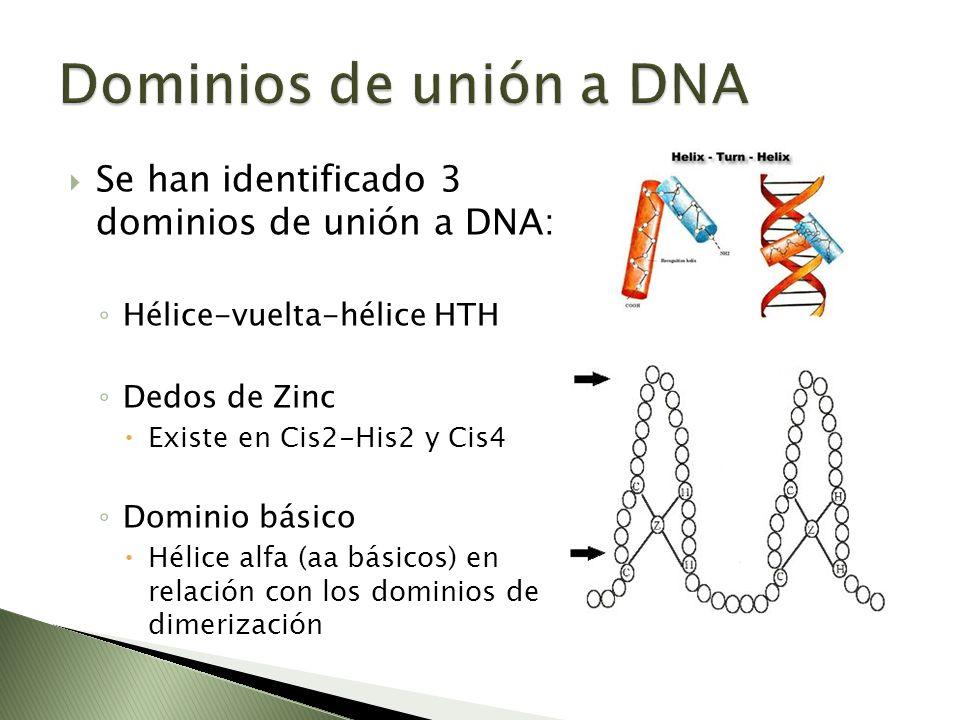 Se han identificado 3 dominios de unión a DNA: Hélice-vuelta-hélice HTH Dedos de Zinc Existe en Cis2-His2 y Cis4 Dominio básico Hélice alfa (aa básico