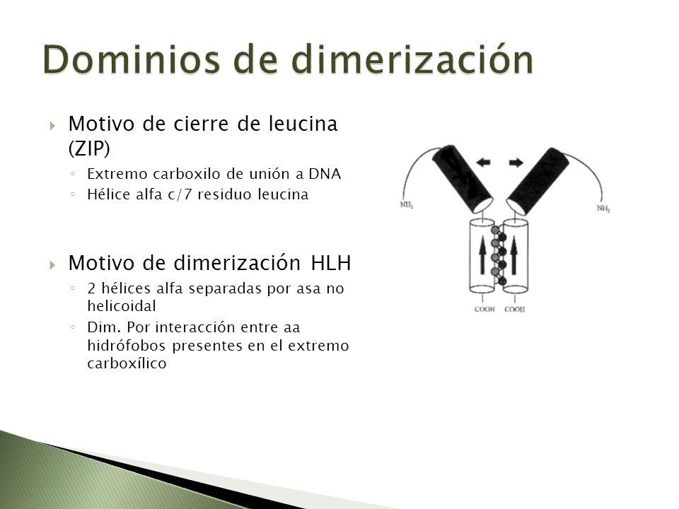 Motivo de cierre de leucina (ZIP) Extremo carboxilo de unión a DNA Hélice alfa c/7 residuo leucina Motivo de dimerización HLH 2 hélices alfa separadas